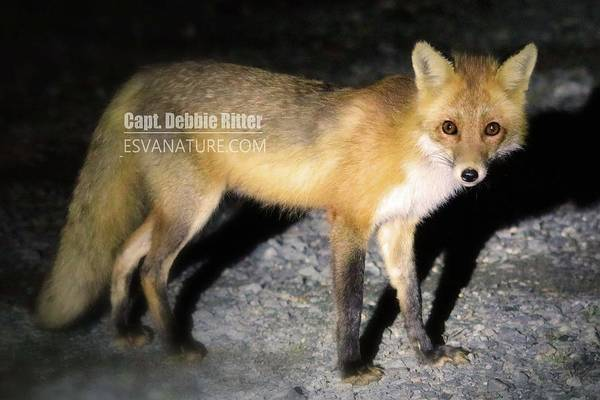 Photograph - Red Fox 5445 by Captain Debbie Ritter