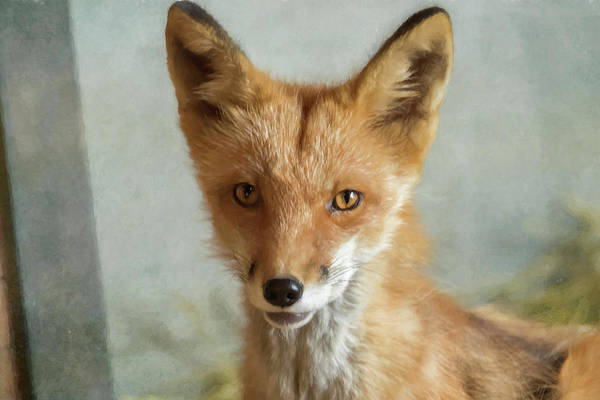 Photograph - Red Fox Against A Textured Background by Belinda Greb