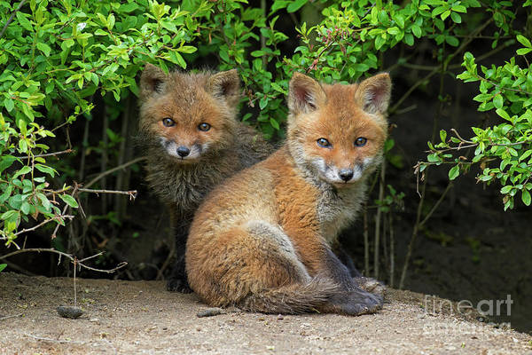 Photograph - Red Fox Cubs by Arterra Picture Library