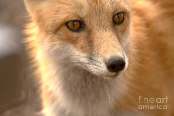 Photograph - Red Fox Face Up Close by Adam Jewell