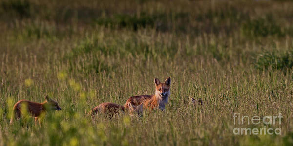 Photograph - Red Fox Family by Brad Allen Fine Art