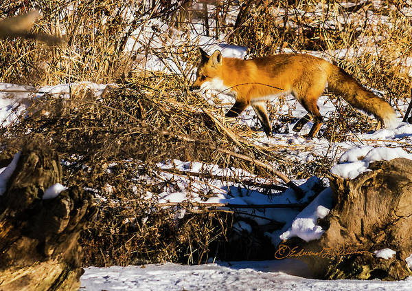 Photograph - Red Fox Hunting by Edward Peterson