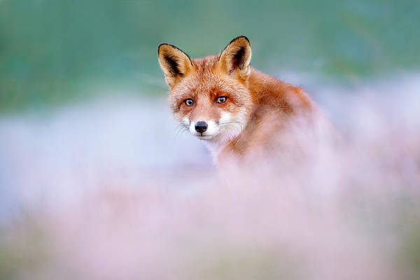 Wall Art - Photograph - Red Fox In A Mysterious World by Roeselien Raimond