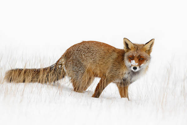 Flake Photograph - Red Fox In A Snow Covered Scene by Roeselien Raimond