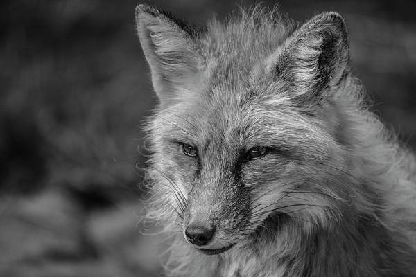 Photograph - Red Fox In Black And White by Teresa Wilson