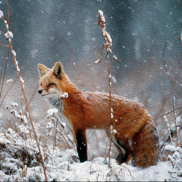 Photograph - Red Fox In Falling Snow by Mark Miller