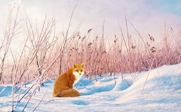 Mound Photograph - Red Fox In Snow by Laura D Young