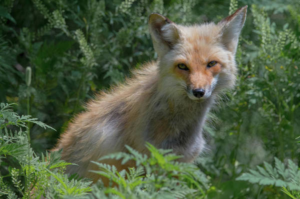 Photograph - Red Fox In The Ferns by Jesse MacDonald