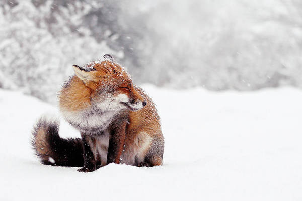 Wall Art - Photograph - Red Fox In The Snow Series by Roeselien Raimond