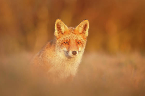 Wall Art - Photograph - Red Fox In Warm Light by Roeselien Raimond