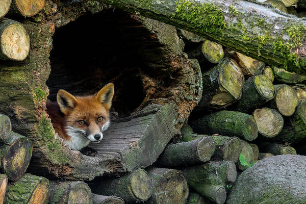 Photograph - Red Fox In Woodpile by Arterra Picture Library