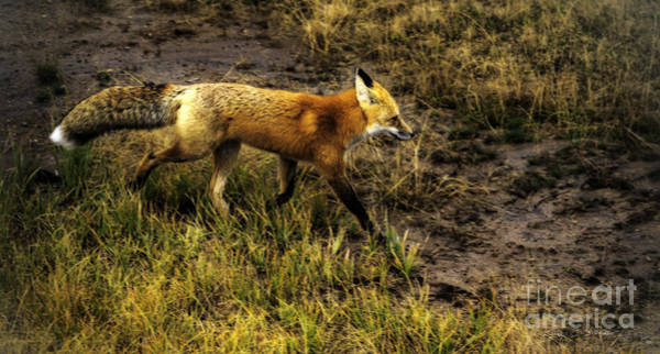 Photograph - Red Fox In Yellowstone by Craig J Satterlee