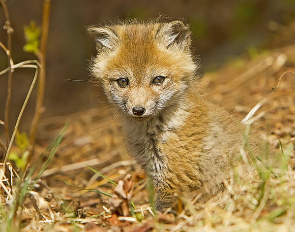 Photograph - Red Fox Kit by John Vose