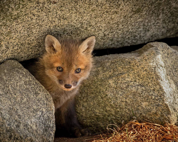 Photograph - Red Fox Kit Peek A Boo by John Vose