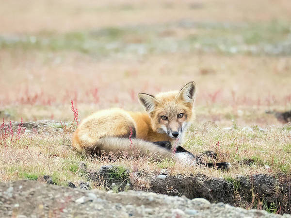 Wall Art - Photograph - Red Fox Kit Resting by Stephanie McDowell