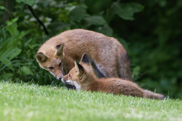 Photograph - Red Fox Mother And Pup by Lori Coleman