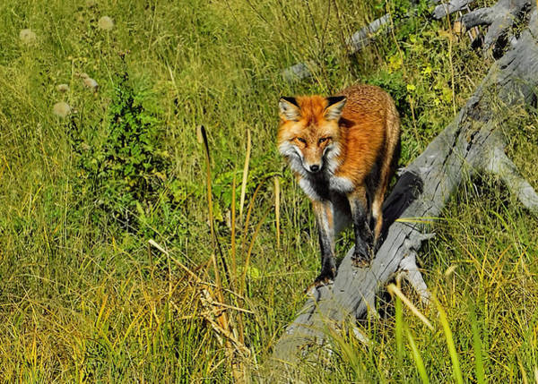 Photograph - Red Fox On The Hunt by Bill Dodsworth