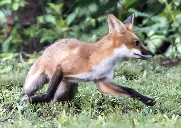 Photograph - Red Fox On The Run by William Bitman