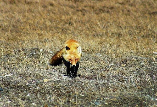 Photograph - Red Fox On The Tundra by Anthony Jones