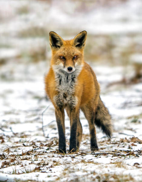 Photograph - Red Fox Portrait by William Bitman
