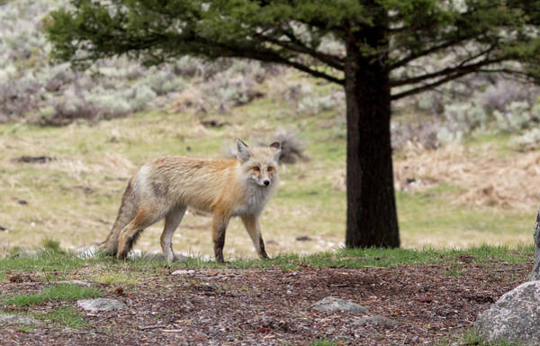 Photograph - Red Fox by Ronnie and Frances Howard