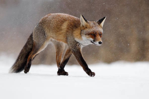 Flake Photograph - Red Fox  Running Through A Snowshower by Roeselien Raimond