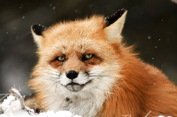 Photograph - Red Fox by Scott Read