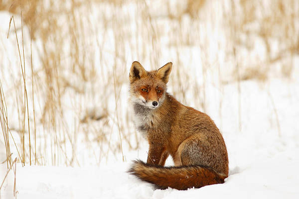 Flake Photograph - Red Fox Sitting In The Snow by Roeselien Raimond