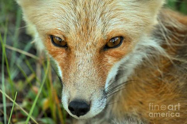 Photograph - Red Fox Soft Eyes by Adam Jewell