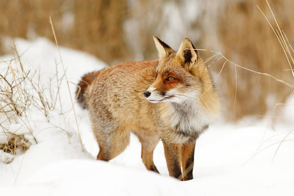 Flake Photograph - Red Fox Standing In The Snow by Roeselien Raimond