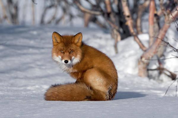 Photograph - Red Fox Vulpes Vulpes Sitting On Snow by Sergey Gorshkov