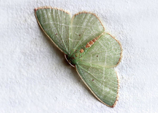 Photograph - Red Fringed Emerald Moth by Karen Adams
