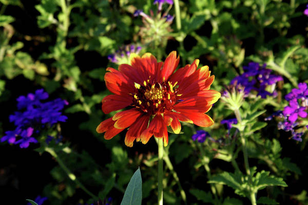 Sentimentality Photograph - Red Gaillardia by Douglas Barnett