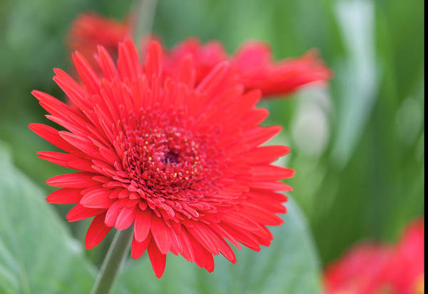 Wall Art - Photograph - Red Gerbera Close Up by Suzanne Gaff