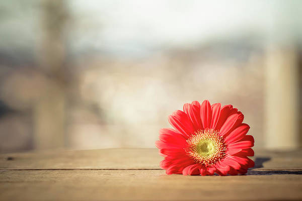 Daisy Photograph - Red Gerbera Daisy by Daniela Romanesi