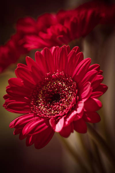 Photograph - Red Gerbera by Maria Heyens