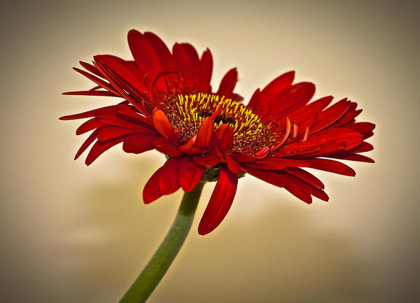 Wall Art - Photograph - Red Gerbera Two by Venetia Featherstone-Witty
