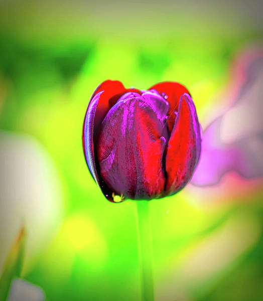 Photograph - Red Glowing Tulip.  by Leif Sohlman