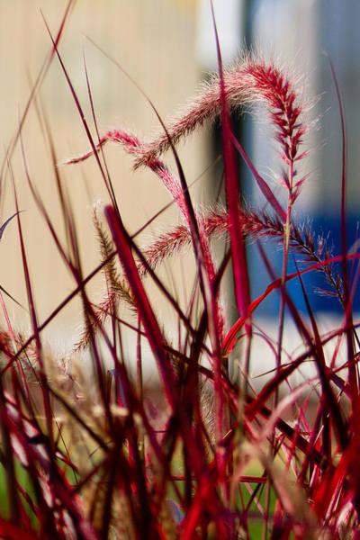 Pennisetum Photograph - Red Grass by Earl Ball