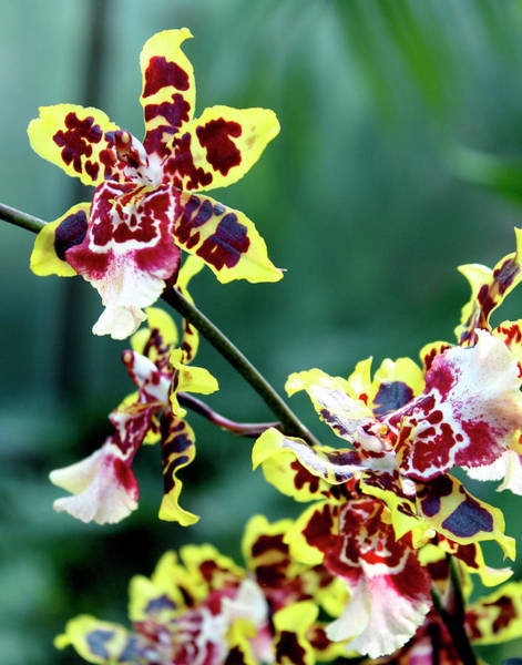 Photograph - Striped Maroon And Yellow Orchid by Melinda Blackman