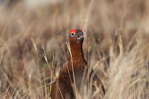 Photograph - Red Grouse Calling by Karen Van Der Zijden