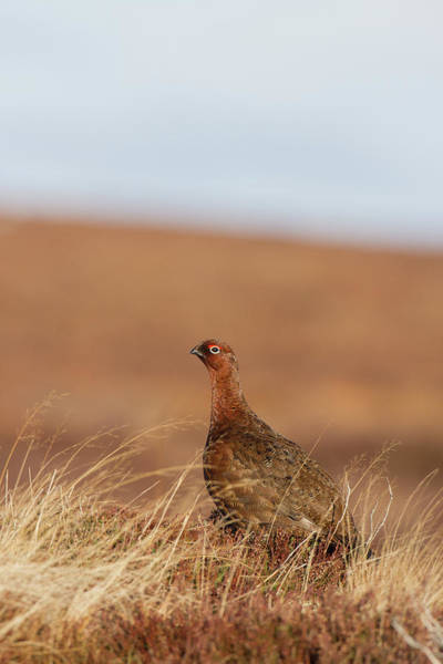 Photograph - Red Grouse by Peter Walkden