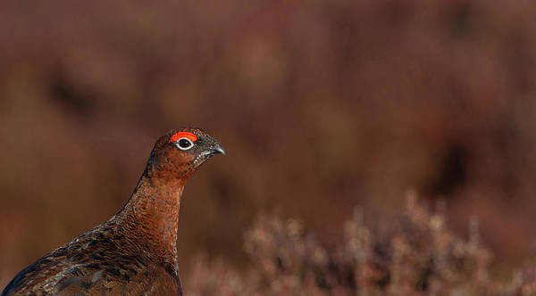 Photograph - Red Grouse Portrait by Peter Walkden