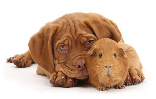 Photograph - Red Guinea Pig And Dogue De Bordeaux by Warren Photographic