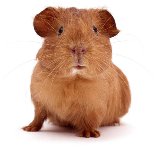 Photograph - Red Guinea Pig by Warren Photographic
