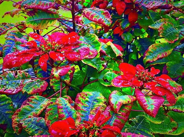 Red Hawaiian Poinsettias In Puna Art Print