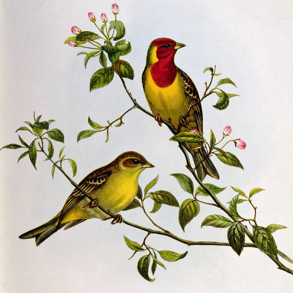 Bunting Painting - Red Headed Bunting by John Gould