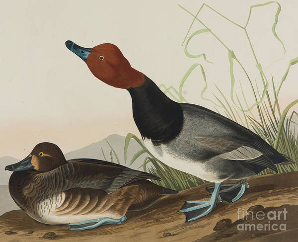 Wall Art - Painting - Red Headed Duck, 1836 by John James Audubon