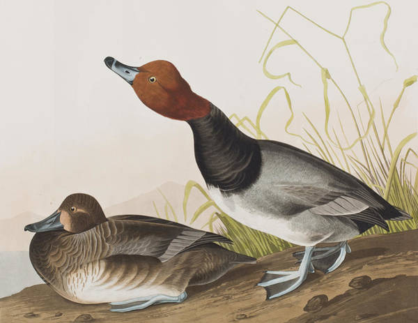 Water Fowl Painting - Red-headed Duck by John James Audubon