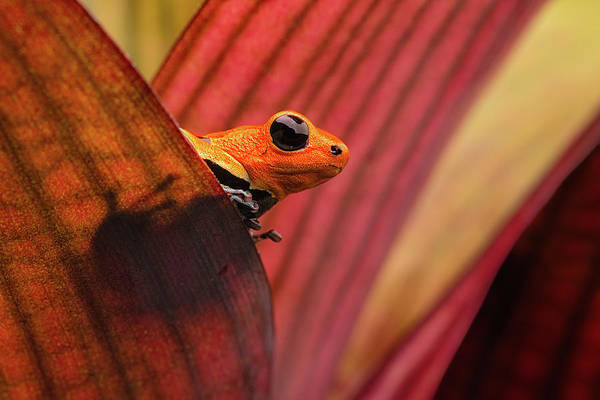 Bromelia Photograph - red headed poison dart frog Peru by Dirk Ercken